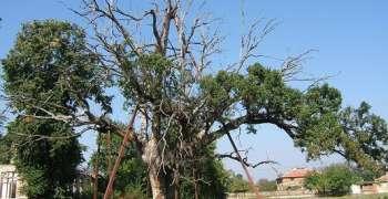 Старият дъб- вековното дърво