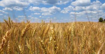 Очакваната реколта от пшеница е 5,4 млн. тона, има достатъчно за хлебния баланс на страната