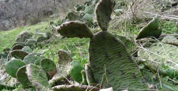 Колония от кактуси в Кресненското дефиле