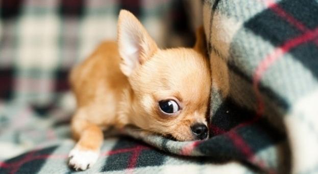 Учени създадоха 49 клонинга на най-малкото куче на света (ВИДЕО)