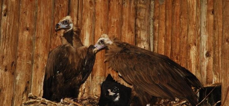 Лешоядът Боян живее на турска територия
