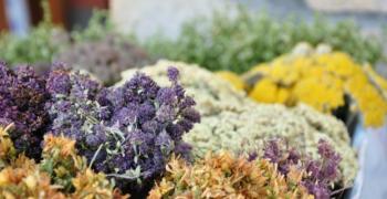 Популярни лечебни билки срещу болка и възпаления