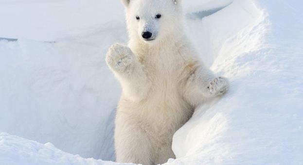 Росстандарт  въвежда правила при срещи с бели мечки в Арктика