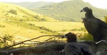 Прострелян е черен лешояд, дарен на България