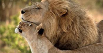 Южна Африка законно ще изнася по 1500 лъвски скелета годишно