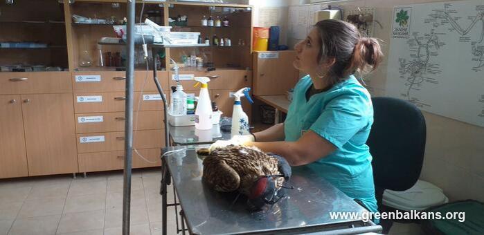 Откриха 16 сачми в тялото на царски орел